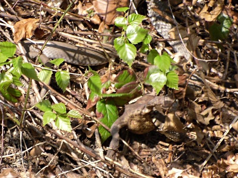 tohle se nevidí každý den: užovka ulovila žábu