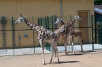 nový pavilon žiraf