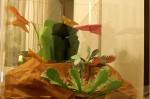 Masožravkárium: mucholapka