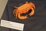 Petr Stuchlý: krab pobřežní